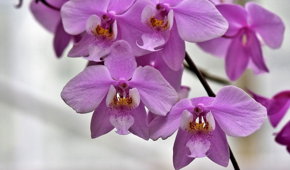 orchids-4029492_960_720
